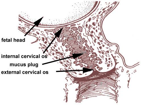cervical_mucus_plug